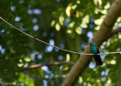 Zumbador Verde  Zumbador Verde Zumbador Verde. Foto: Alberto López ©  Este colibrí es un ave pequeña de pico largo y curvo. Es completamente verde iridiscente