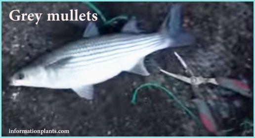 البوري وانواعه Grey Mullets قوائم الاسماك قوائم انواع الاسماك معلومان عامه معلوماتية نبات حيوان اسماك فوائد Fish Pet Fish Pets