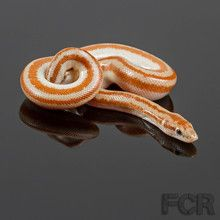 Rosy Boas For Sale Color Variation