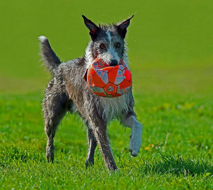 Badger - Football Hooligan !! - Mid Glam Sam1 - Badger enjoying his lap of honour after saving this football from a certain death in the murky depths of Cardiff Bay. And doesn't the soggy clown look pleased with himself lol ?? Please do not use my... http://ift.tt/2etsHlS IFtemppicpinned in Building blocksdownld in ios #October 19 2016 at 08:10PM#via IF