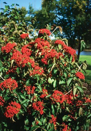 Viburnum dilatatum 'Henneke' showy red berries, white flowers and extreme cold tolerant