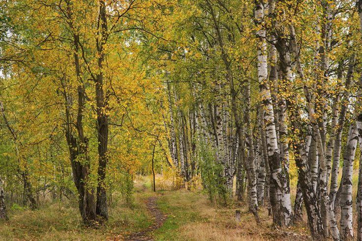 Automne Bouleau Sentier Arbres Nature