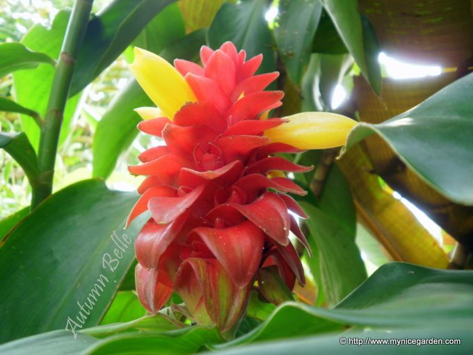 tropical plants pictures and names my nice flowers the tropical plants finder costus - Pretty Plants