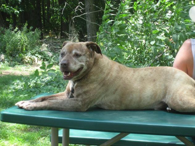 Tigger  Pit Bull Terrier Mix • Senior • Male • Medium Pets Alive Middletown, NY