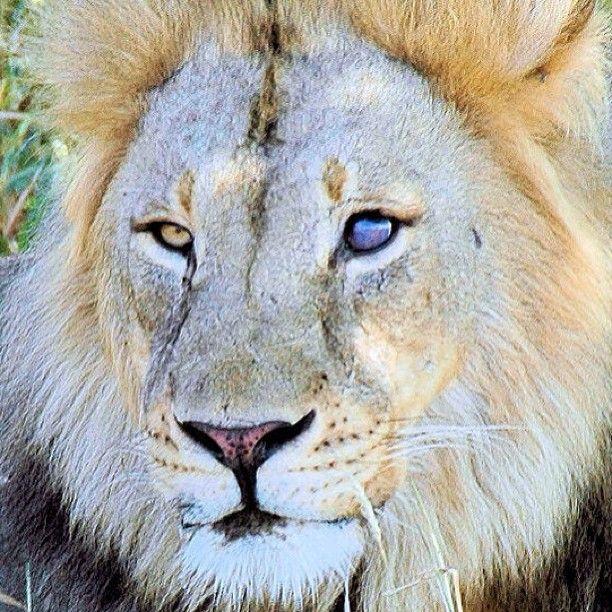 cyborg lion, botswana