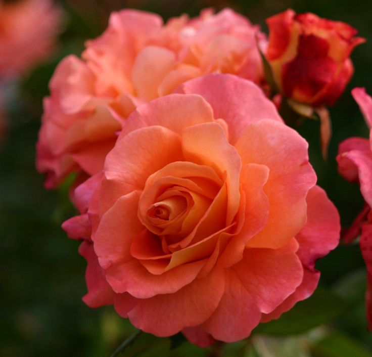 rose 39 augusta luise 39 peach and light yellow ages to salmon pink hybrid tea strong. Black Bedroom Furniture Sets. Home Design Ideas