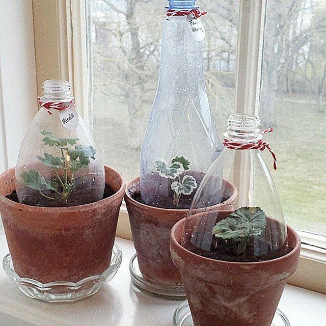 DIY indoor greenhouses made of plastic bottles. Such a good idea! Växthus, drivhus, reuse, gjenbruk, genbrug
