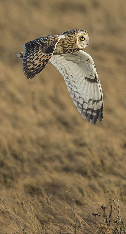 Short-eared Owl Asio flammeus Uncommon winter resident