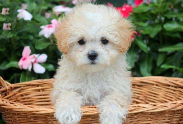 Maltipoo Puppies For Sale Puppy Adoption Keystone Puppies Maltipoo Puppies For Sale Maltipoo Puppy Puppy Adoption