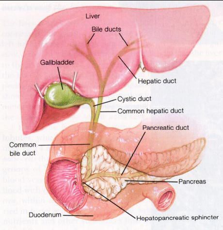 Detailed diagram of the liver, pancreas and duodenum