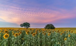 Sunflowers taken in South East Queensland, Australia [OC] [6165x3765] : EarthPorn