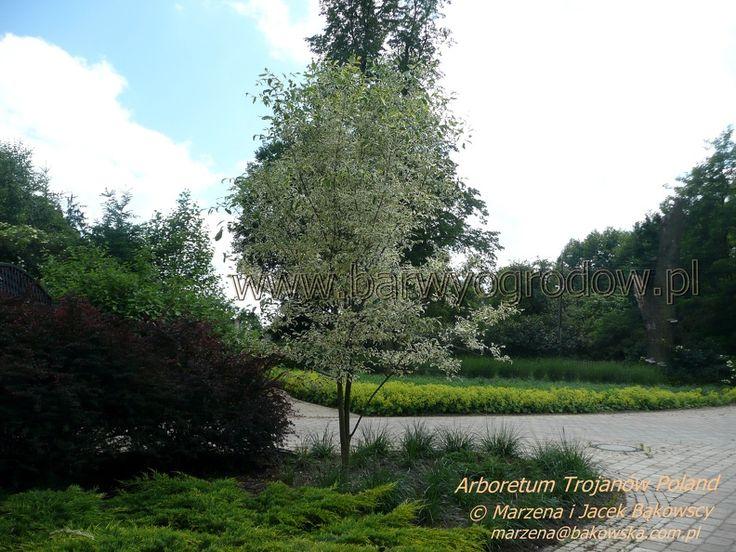 Arboretum Trojanów Poland  Alchemilla mollis Przywrotnik ostroklapowy  Fraxinus pennsylvanica 'Argenteomarginata'