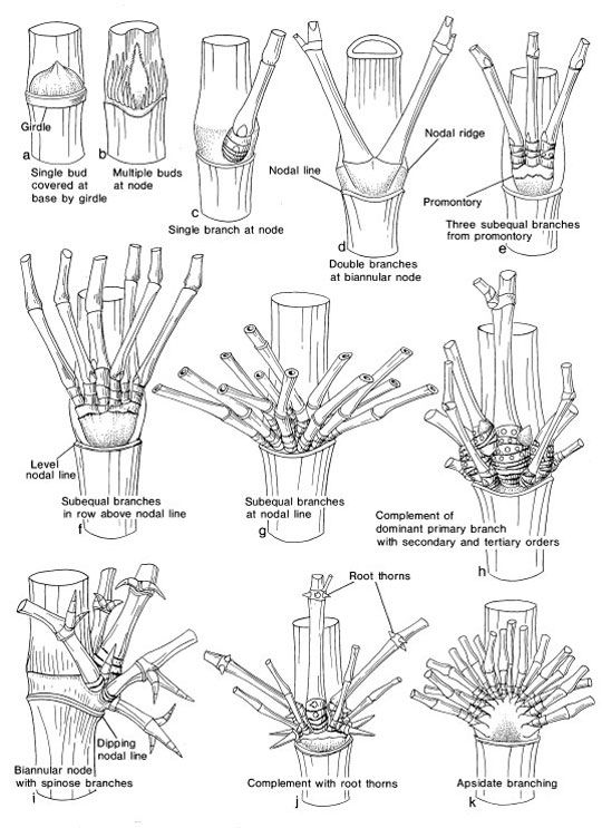 Identifying Bamboo Branches