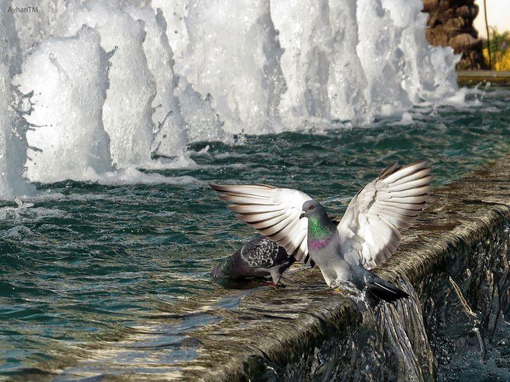 Pigeon by ayhan turan menekay
