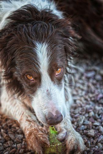 border collie + dirt = happy dog!