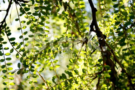 Kowhai Leaves in Sunlight royalty-free stock photo