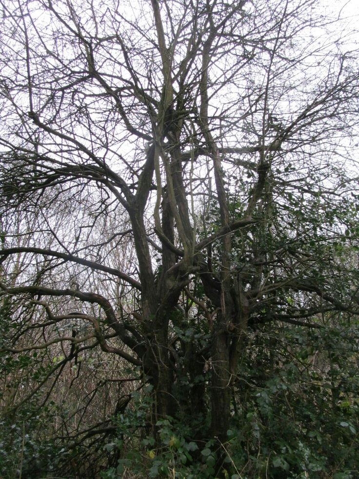 taken by ginge on the 12/12/16 tree on a wet dark morning Walsall  woods I really like the tree trunk