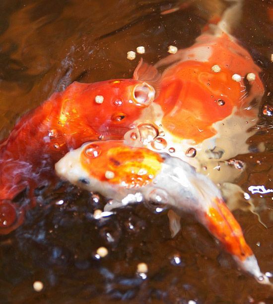 Create a tropical retreat in your backyard koi and gardens for Exotic koi fish