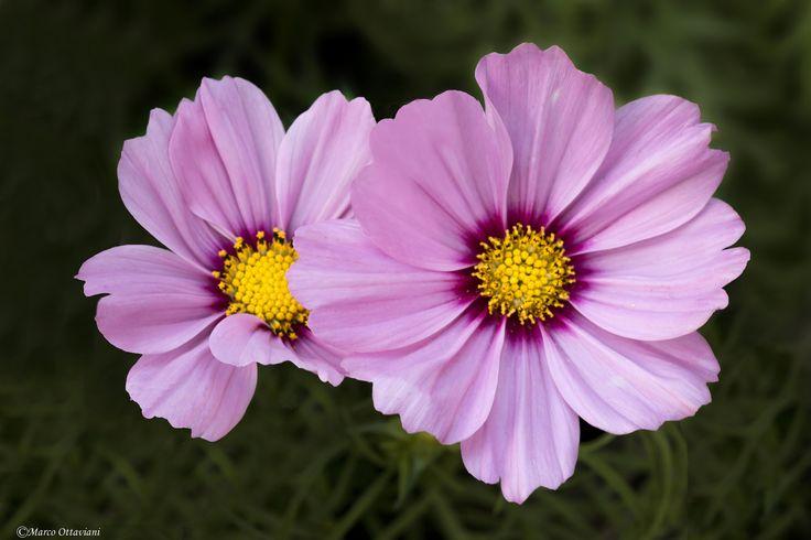 https://flic.kr/p/CvuLmm | Cosmea | La Cosmea (Cosmos bipinnatus) è una pianta appartenente alla famiglia Asteraceae. Si tratta di una specie ornamentale molto frequente nei giardini a clima temperato.  The Cosmos (Cosmos bipinnatus) is a plant belonging to the family Asteraceae. It is a very common ornamental plant in gardens in temperate climates.  ================================================== portfotolio.net/marco_ottaviani…