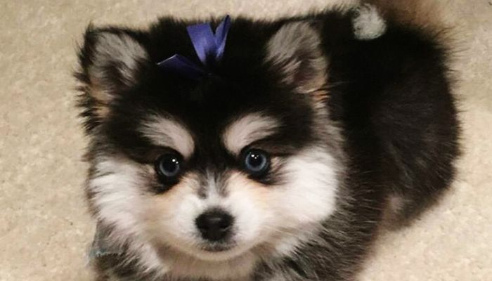 Pomsky Puppies for Sale in Texas,Ohio,PA and Mass USA