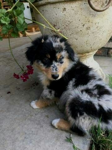 Pin By Tami T Crutcher On Australian Shepherd Dog Breeds Cute Dogs Breeds Cute Dogs