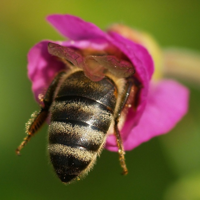 One of every three bites of food you eat depends on the honey bee. They pollinate at least 130 different crops in the US alone, including fruits, vegetables and tree nuts.
