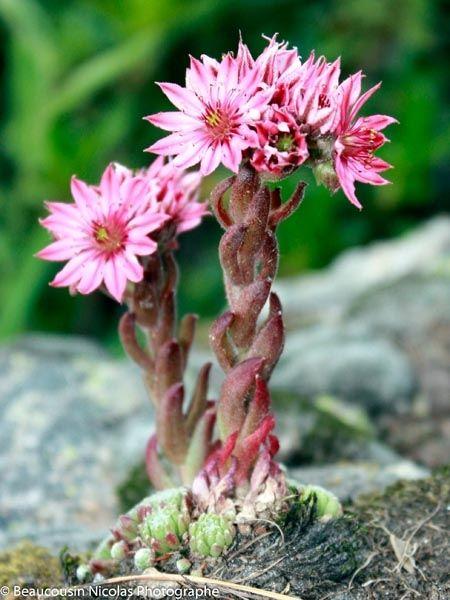 Image result for fleur des alpes