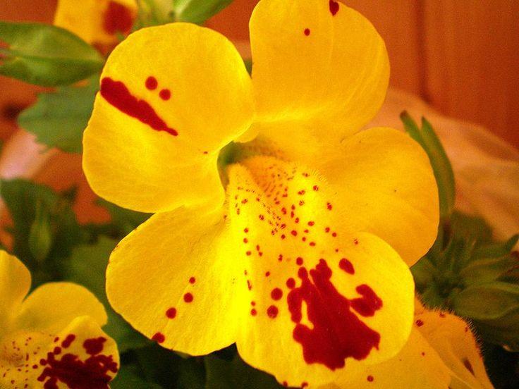 Las manchas rojas de esta flor nos recuerdan un estado animico de las personas mimulus y es su timidez, al punto de transpirar o ponerse rojos en algunas circunstancias.