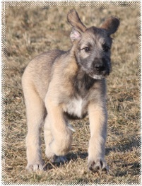 So sweet, I will have my Irish Wolfhound puppy one day!!
