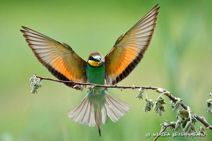 Prigorie - Merops apiaster