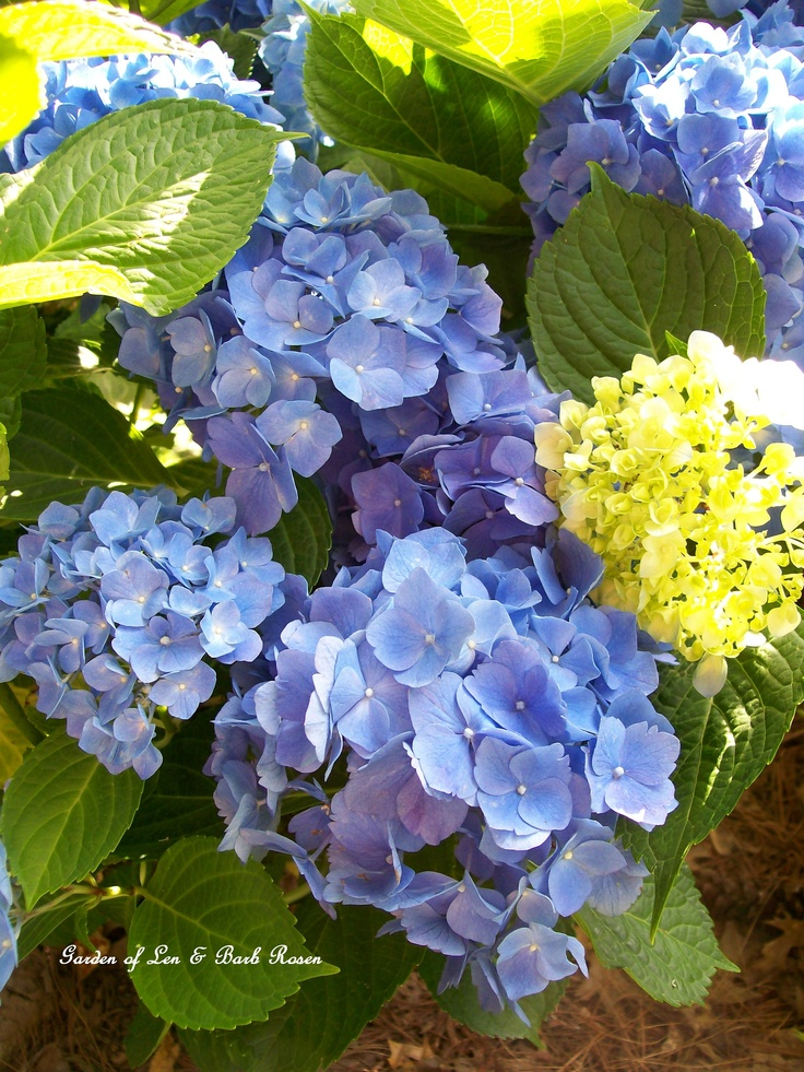 17 best images about hydrangeas on pinterest shrubs the. Black Bedroom Furniture Sets. Home Design Ideas