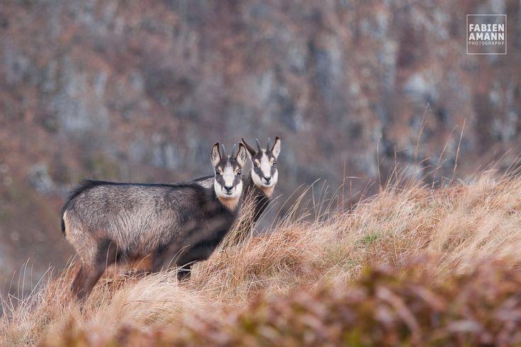 Chamois dans les Vosges au Hohneck