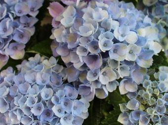 hortensja kwiatostan suszony fot. Markus Baumeler Pixabay Public Domain CC0