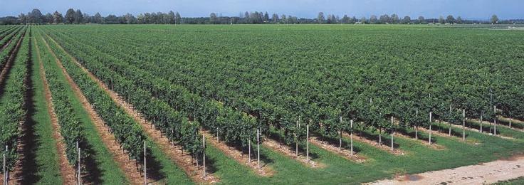 The 'Braida Santa Cecilia' vineyard, 1994