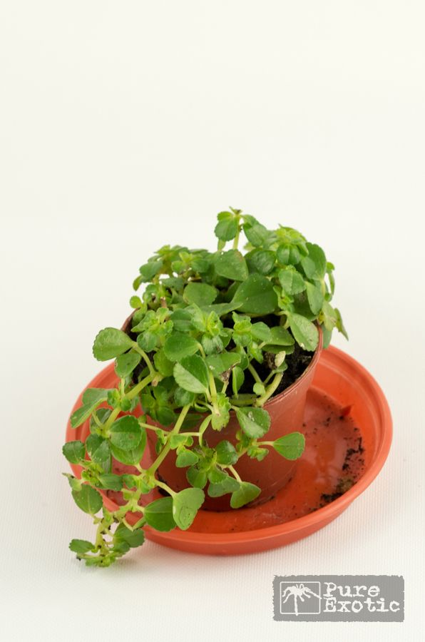 Pilea Glaucophylla Best 13 Pilea Images On Pinterest | Houseplants, Indoor