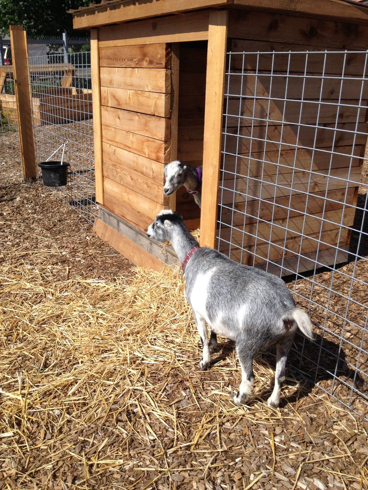 backyard goats more backyard animals homestead goats backyard goats