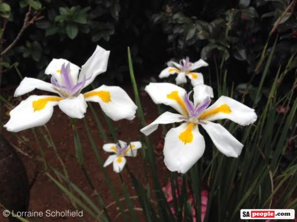 Dietes Grandiflora, South Africa