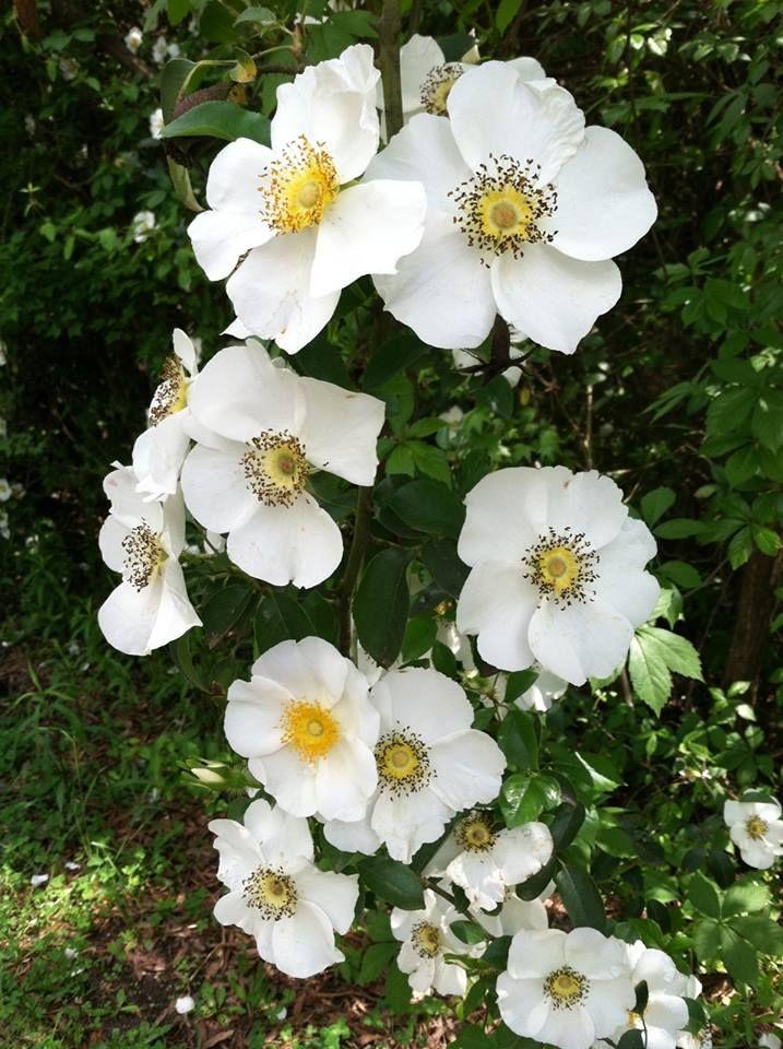 Cherokee Rose, _Rosa laevigata