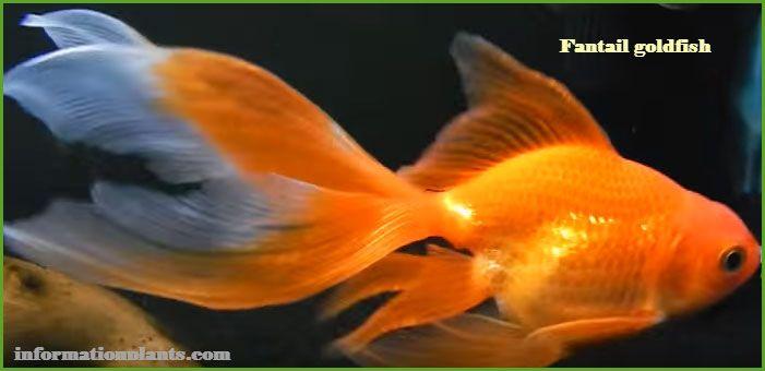 سمكة الزينة ذات الذيل المروحي سمك زينة انواع الاسماك معلومان عامه معلوماتية نبات حيوان اسماك فوائد Attack On Titan Anime Fish Pet Pets