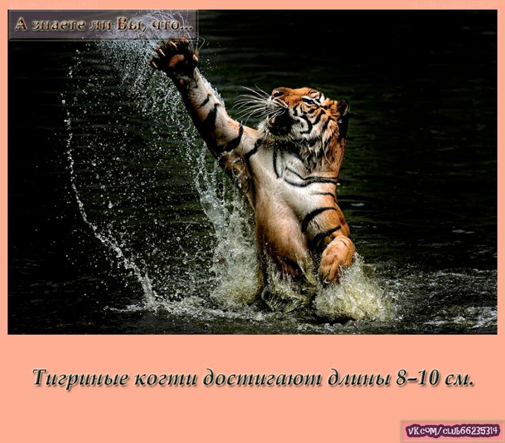 Тигриные когти достигают длины 8–10 см.