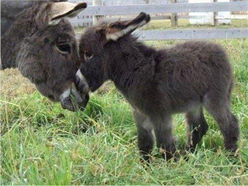 Bébé âne