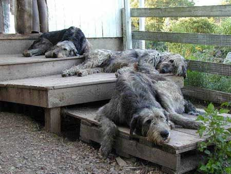 Irish Wolfhounds.....where do they sleep?  Anywhere they want!