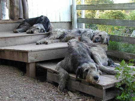 I really want an Irish Wolfhound: Animals, Wolfhound Dogs Nice, Wolf Hounds, Irishwolfhounds, Pet, Irish Wolfhound Puppies, Irish Wolfhounds Where, Birds Loons Sheep Wolfhounds, Irish Wolfhound Dogs