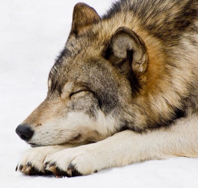 sleeping wolf - SAVE THE WOLVES