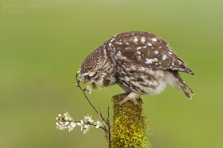 Little Owl - Another shot from my recent time spent photographing wild Little Owls.
