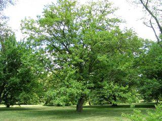 Morus Alba - Witte Moerbei http://pratec.nl/product-categorie/bomen/?filtering=1&filter_latijnse-naam=117 De witte moerbei, Morus Alba is een boom uit de moerbeifamilie met een lichtgroen en decoratief blad.