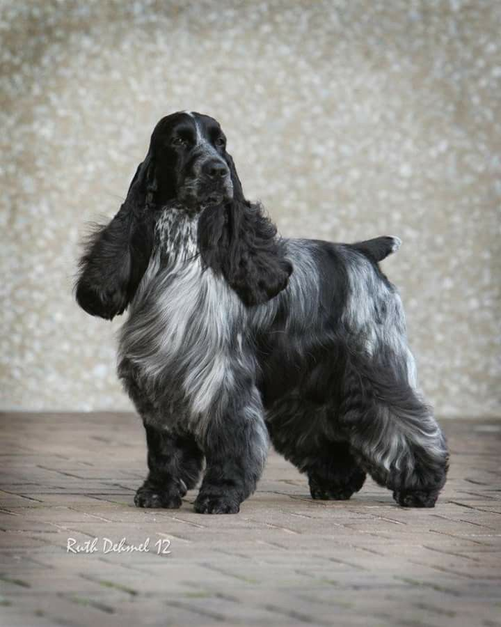 Outstanding English Cocker Spaniel ~ Classic Cocker Look & Trim