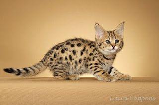 Katten-Foto: Savannah katten