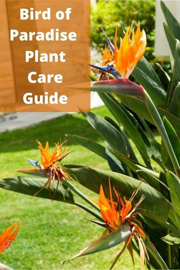 Bird Of Paradise Plant Care Flowersandflowerthings In 2020 Paradise Plant Birds Of Paradise Plant Plant Care