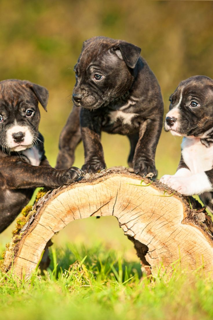American Staffordshire Terrier Puppies Playing In The Yard Pitbull In 2020 Pitbulls American Staffordshire Terrier Puppies Puppy Play
